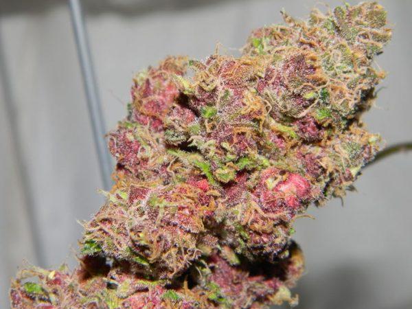 Pink Starburst marijuana